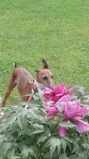 牡丹と愛犬。